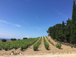 Plantation : la vigne