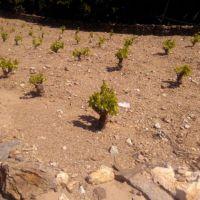stade 4/5 feuilles étalées sur Grenache